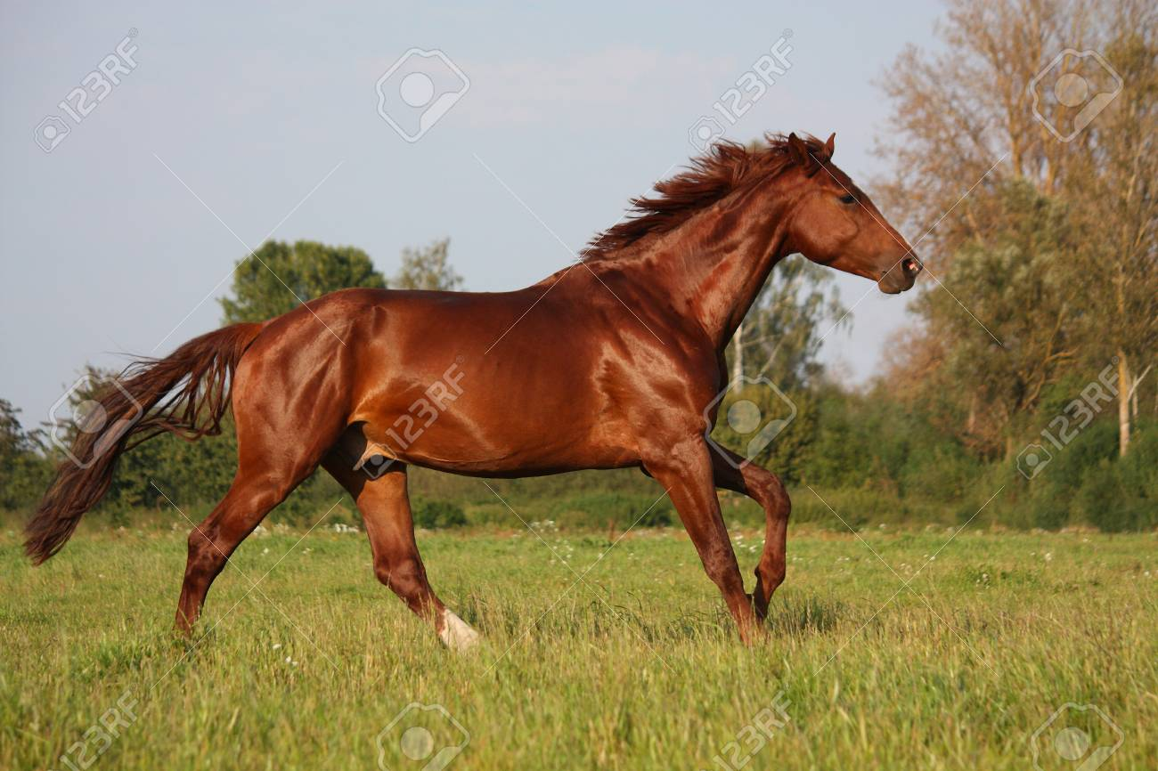 Brown Horse Running Free At The Field In Summer Stock Photo Picture And Royalty Free Image Image 32698240