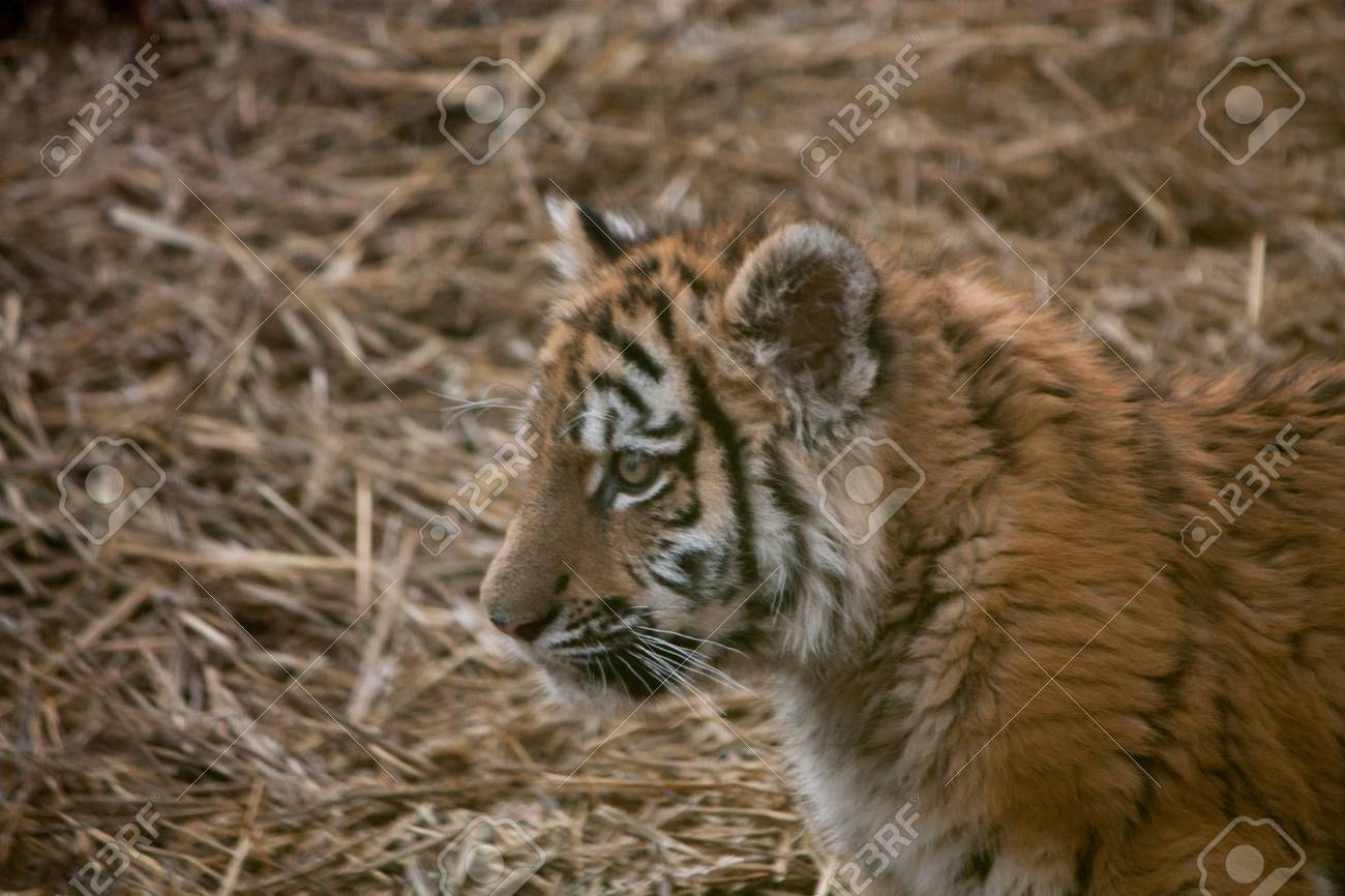 Cute tiger cub resting in the hay straw stock photo picture and cute tiger cub resting in the hay straw stock photo 34628625 thecheapjerseys Image collections