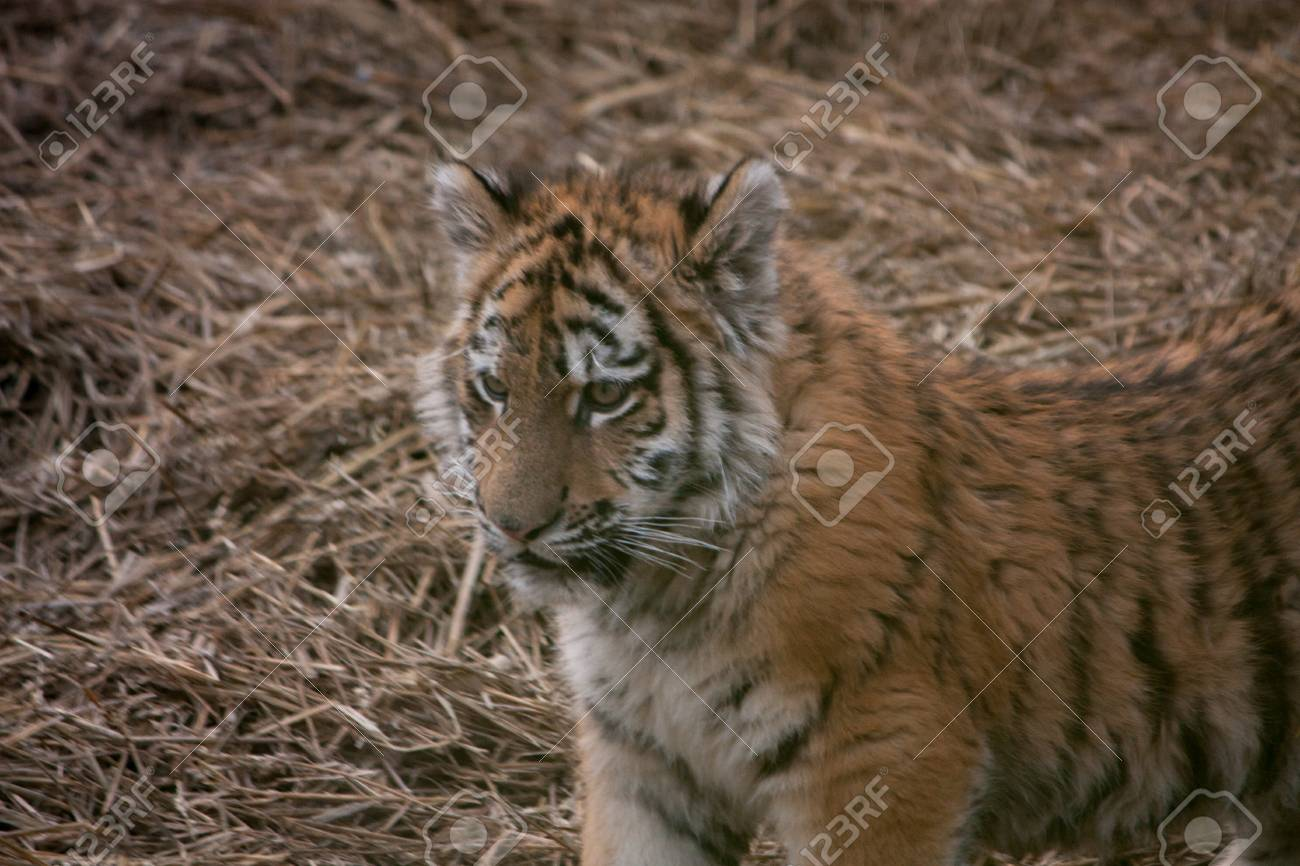 Cute tiger cub resting in the hay straw stock photo picture and cute tiger cub resting in the hay straw stock photo 34628634 altavistaventures Images