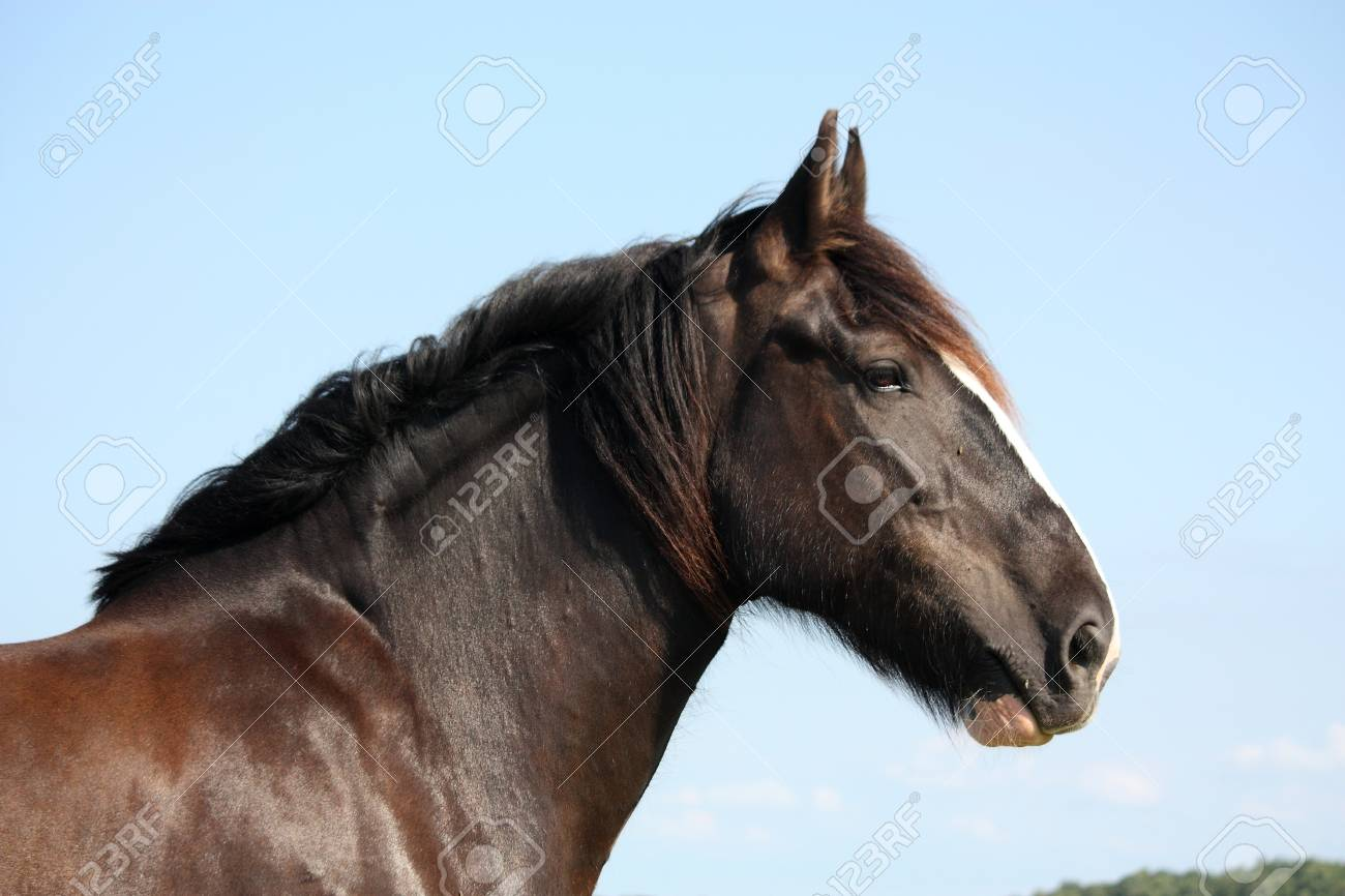 Portrait Of Shire Horse On Sky Background Stock Photo Picture And Royalty Free Image Image 37920369