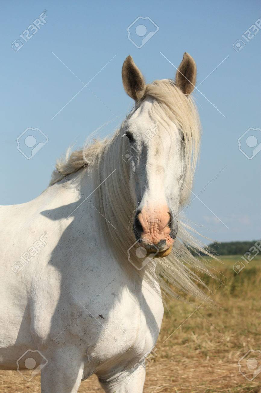 Beautiful White Shire Horse Portrait At The Field Stock Photo Picture And Royalty Free Image Image 38417099
