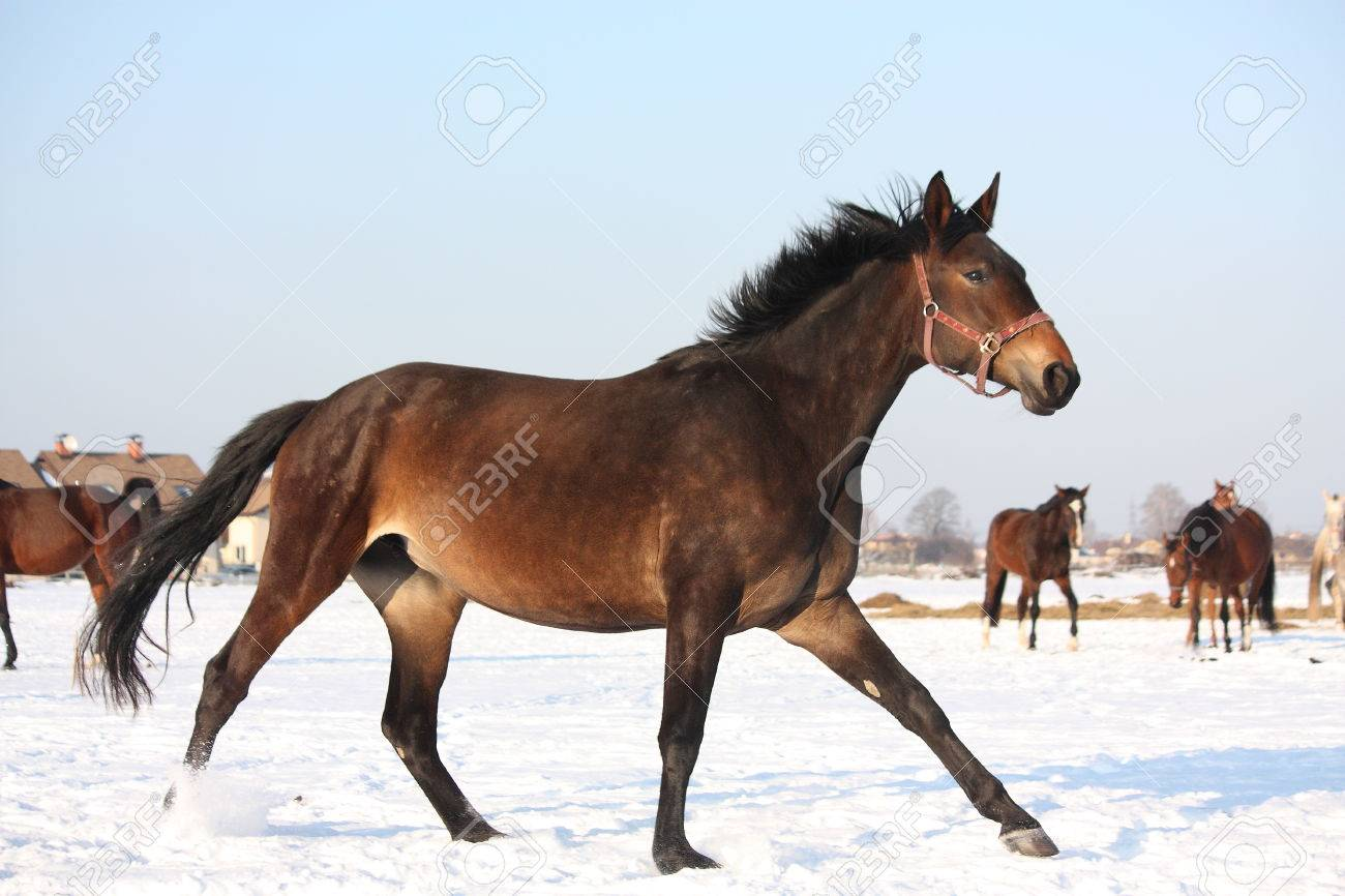 Herd Of Horses Running Free Wild In Winter Stock Photo Picture And Royalty Free Image Image 48396042
