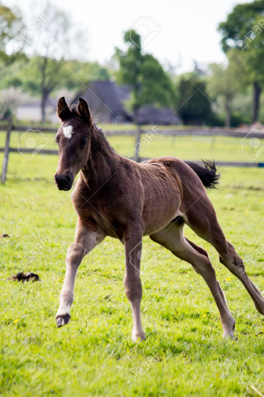 Small Cute Baby Foal Running In The Field Stock Photo Picture And Royalty Free Image Image 78275875