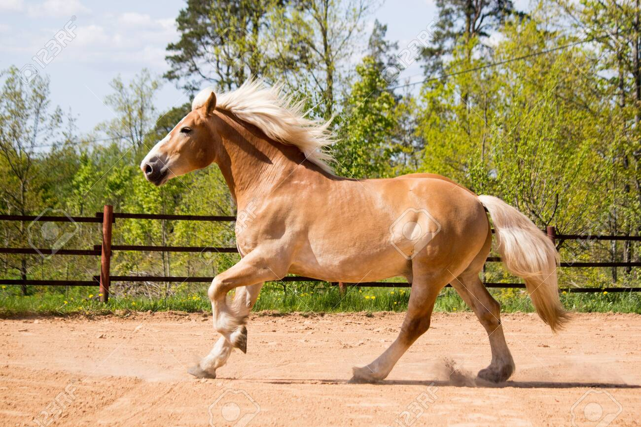 Beautiful Big Palomino Draft Horse Galloping Free In The Arena Stock Photo Picture And Royalty Free Image Image 135515270