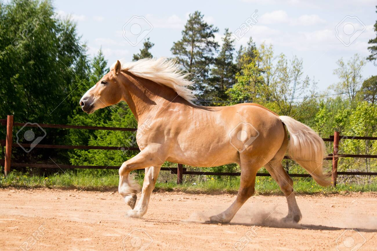 Beautiful Big Palomino Draft Horse Galloping Free In The Arena Stock Photo Picture And Royalty Free Image Image 135515271