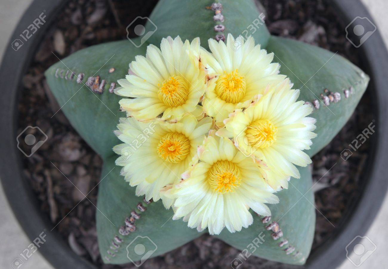 Astrophytum Myriostigma Cactus With Five Blooming Yellow Flowers