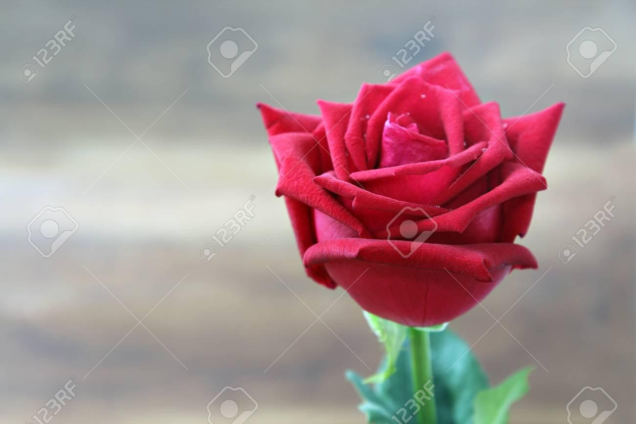 foto de archivo las rosas rojas grandes hermosas con agua caen en fondo de la falta de definicin enfoque selectivo - Fotos De Rosas Rojas Grandes