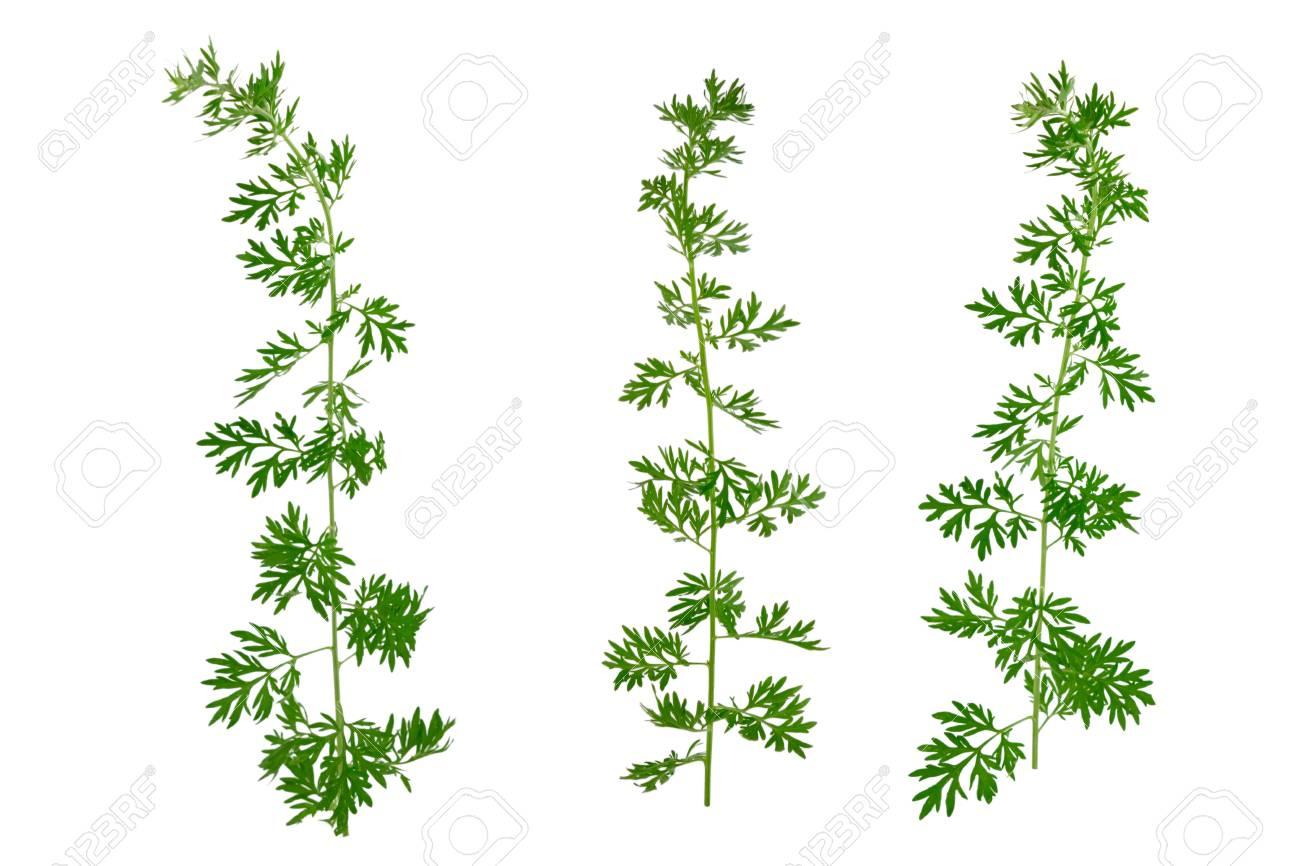 Isolated Artemisia Medicinal Herb Plant  Also Mugwort, Wormwood,