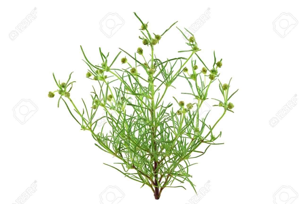 Psyllium Plantago Medicinal Herb Plant  Psyllium (Ispaghula)