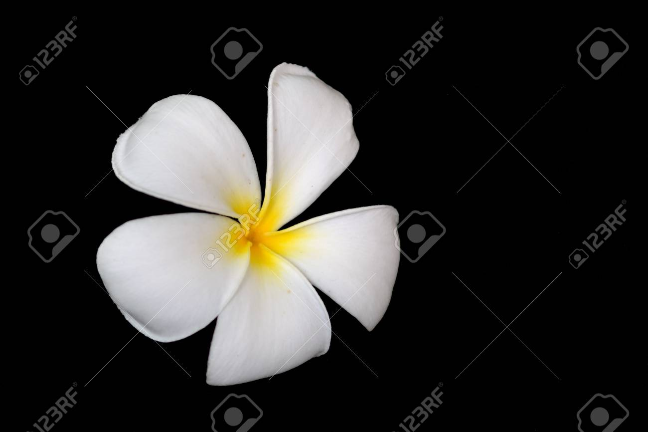 Plumeria Flower Stock Photo - 9780153