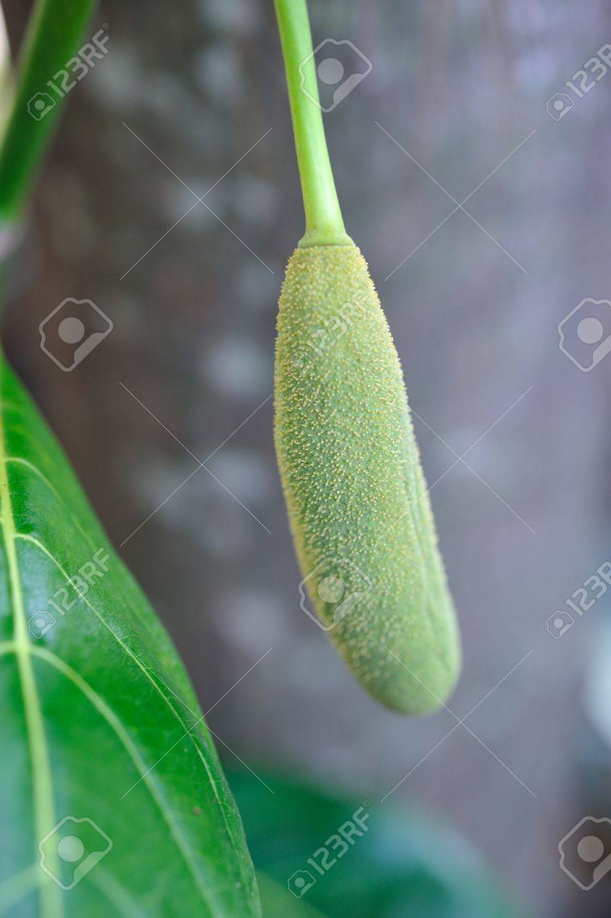 Young jack fruit on the tree Stock Photo - 15539199