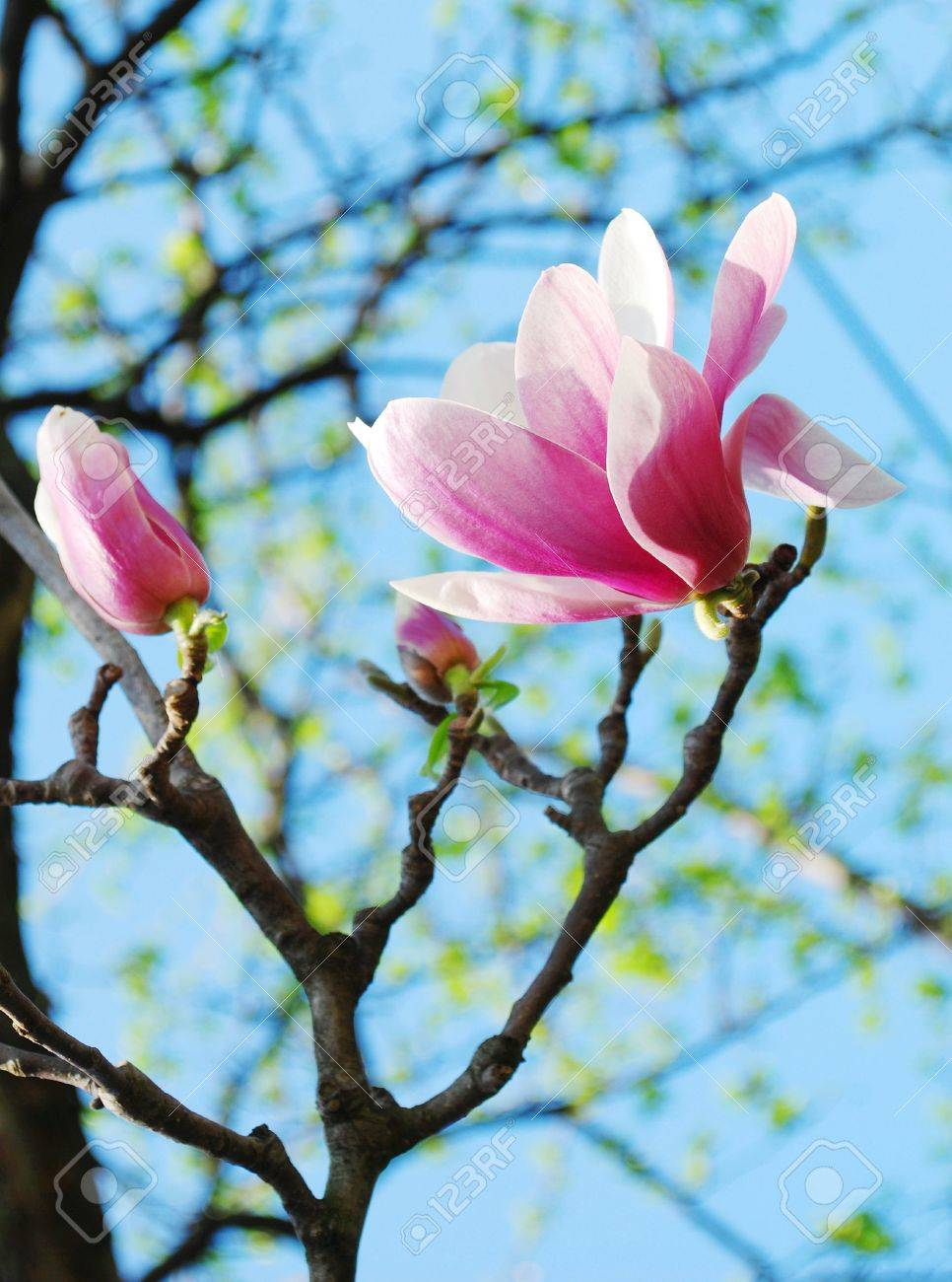 Spring Magnolia Tree Flowers Stock Photo Picture And Royalty Free