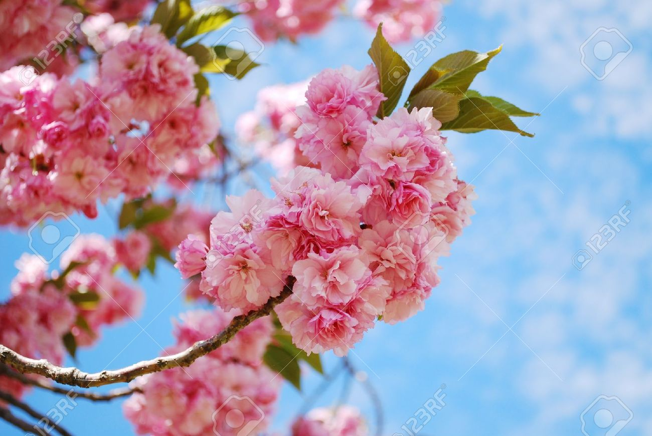 Japanese Cherry Blossom In Spring Stock Photo Picture And Royalty
