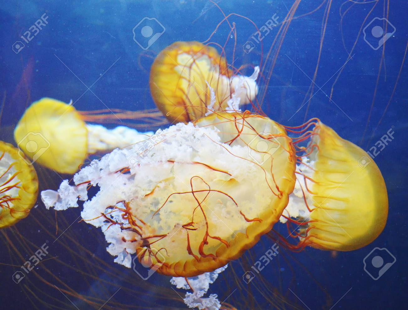 yellow jellyfish with blue ocean water Stock Photo - 17996819