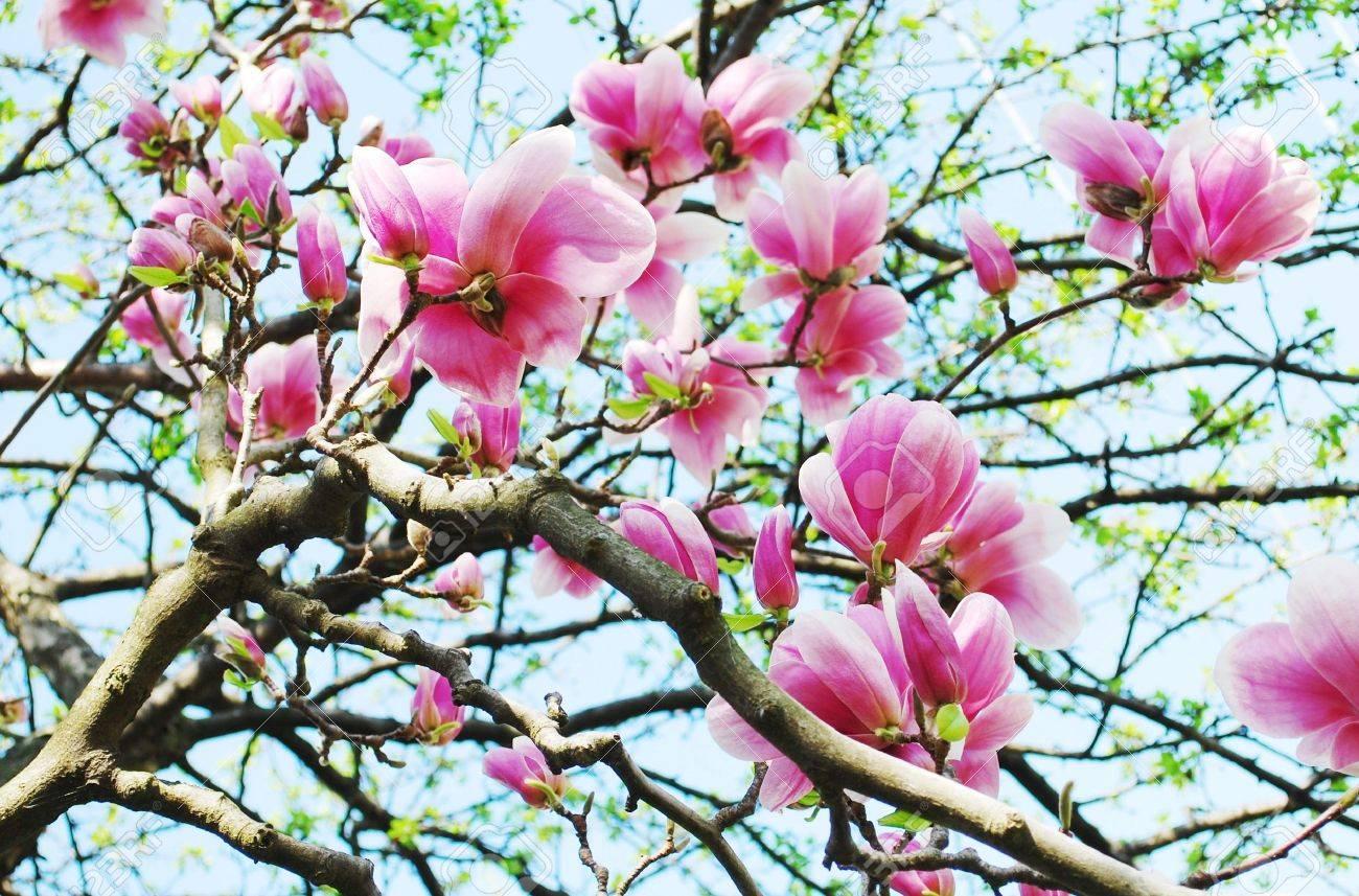 magnolia tree Stock Photo - 18378384