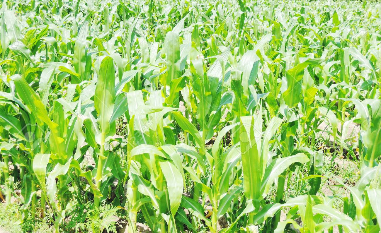 Cob of Corn Growing in Corn Field Stock Photo - 21019025