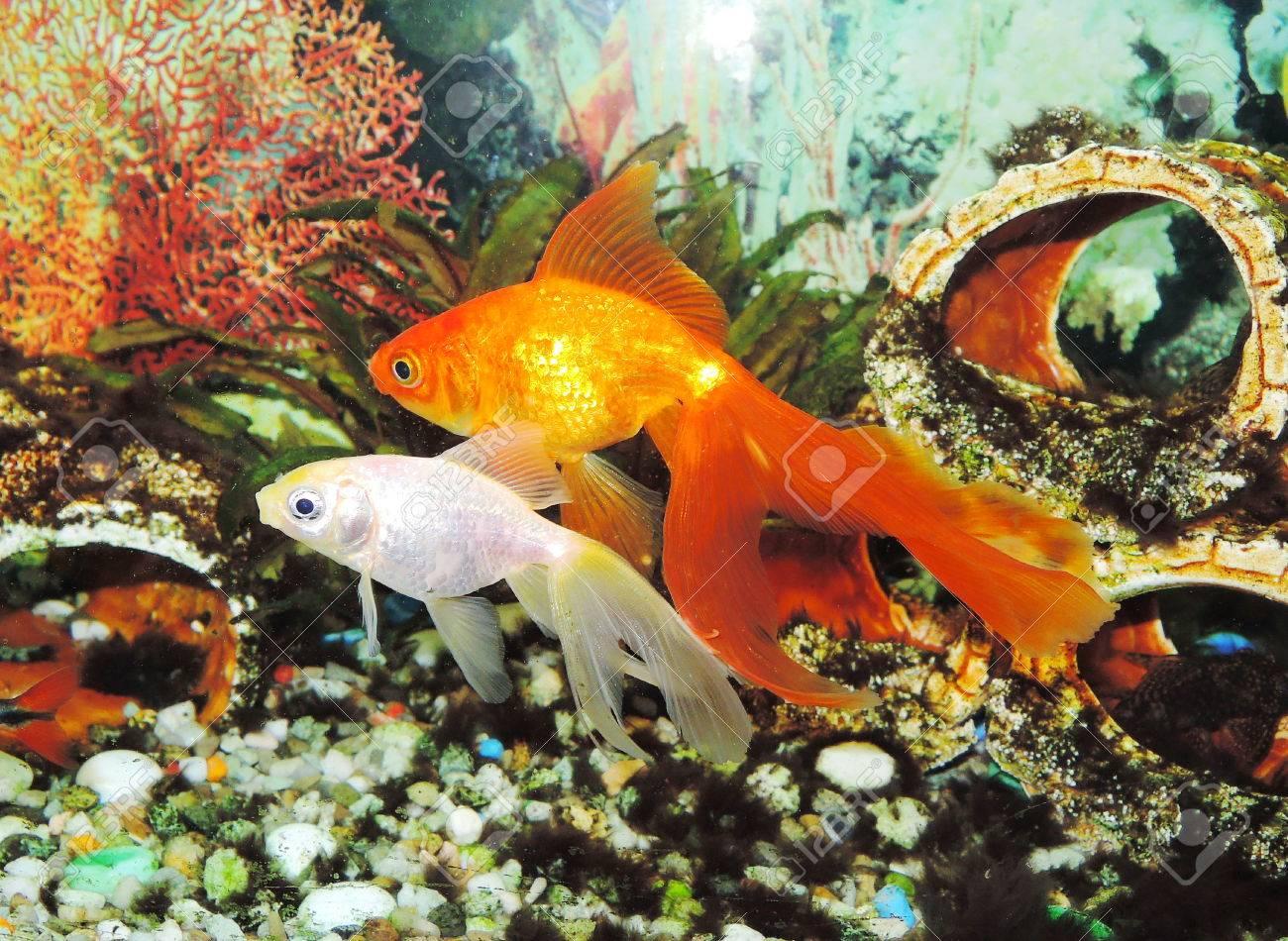 Goldfish Stock Photo - 23016845