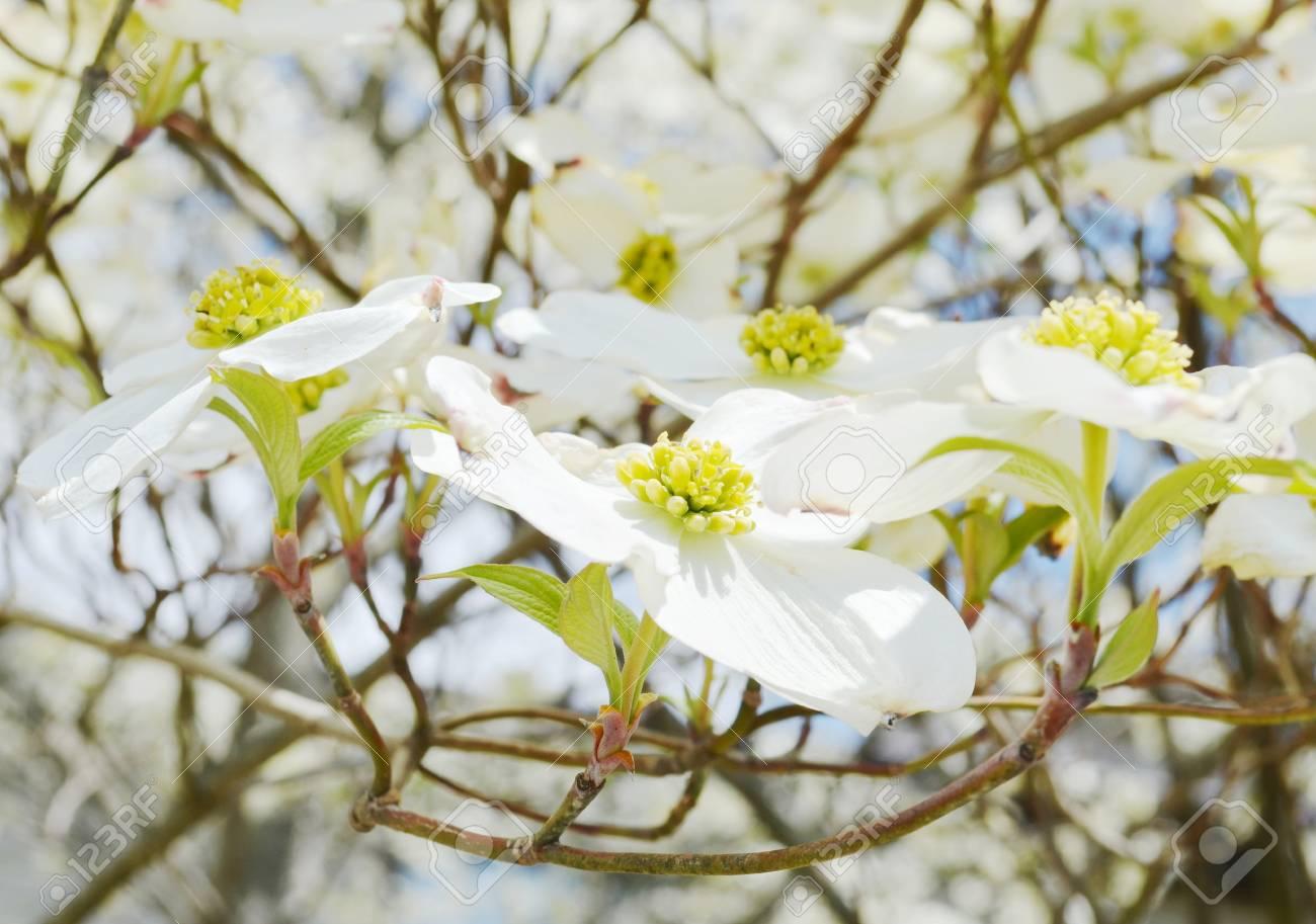 White dogwood tree flowers blooming stock photo picture and royalty stock photo white dogwood tree flowers blooming mightylinksfo