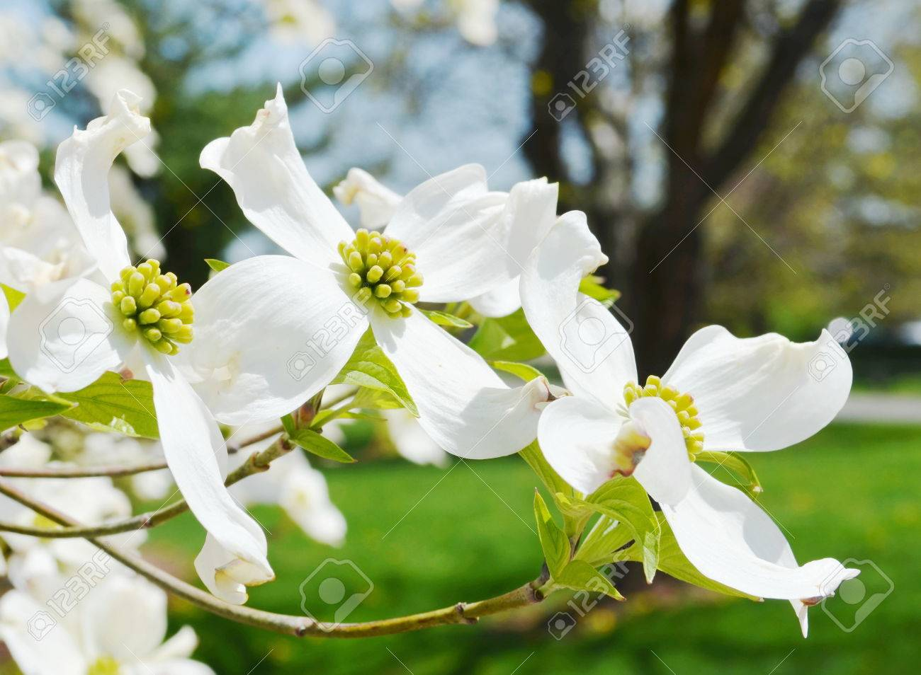 White dogwood tree flowers blooming stock photo picture and royalty stock photo white dogwood tree flowers blooming mightylinksfo