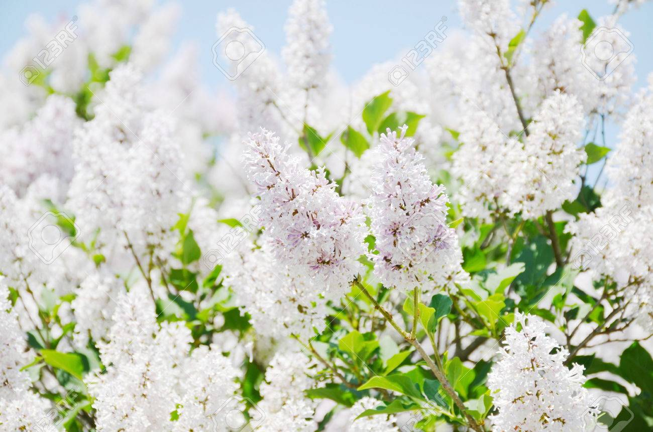 White Lilac Flowers Stock Photo Picture And Royalty Free Image