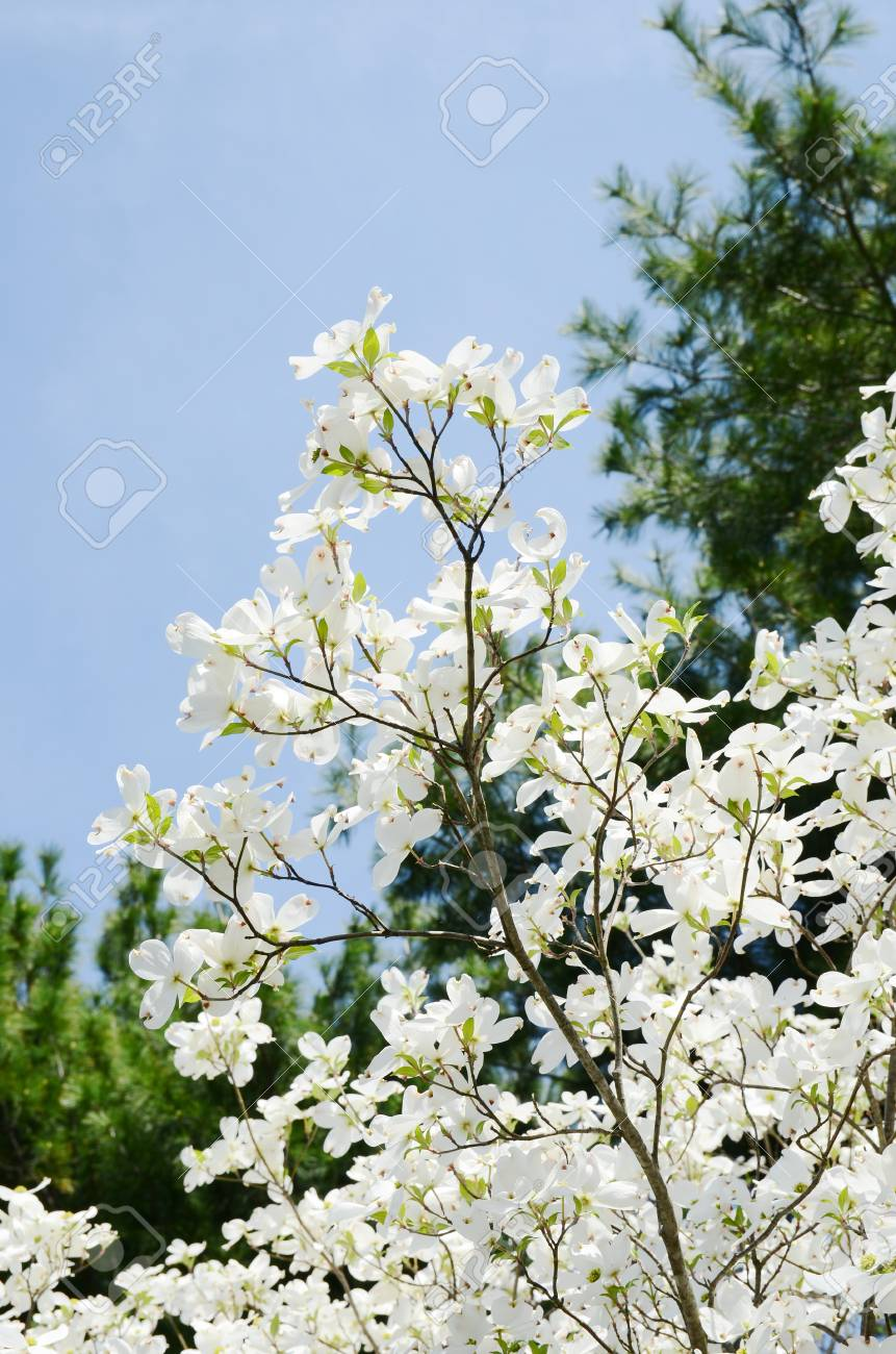 White Dogwood Tree Flowers Blooming Stock Photo Picture And