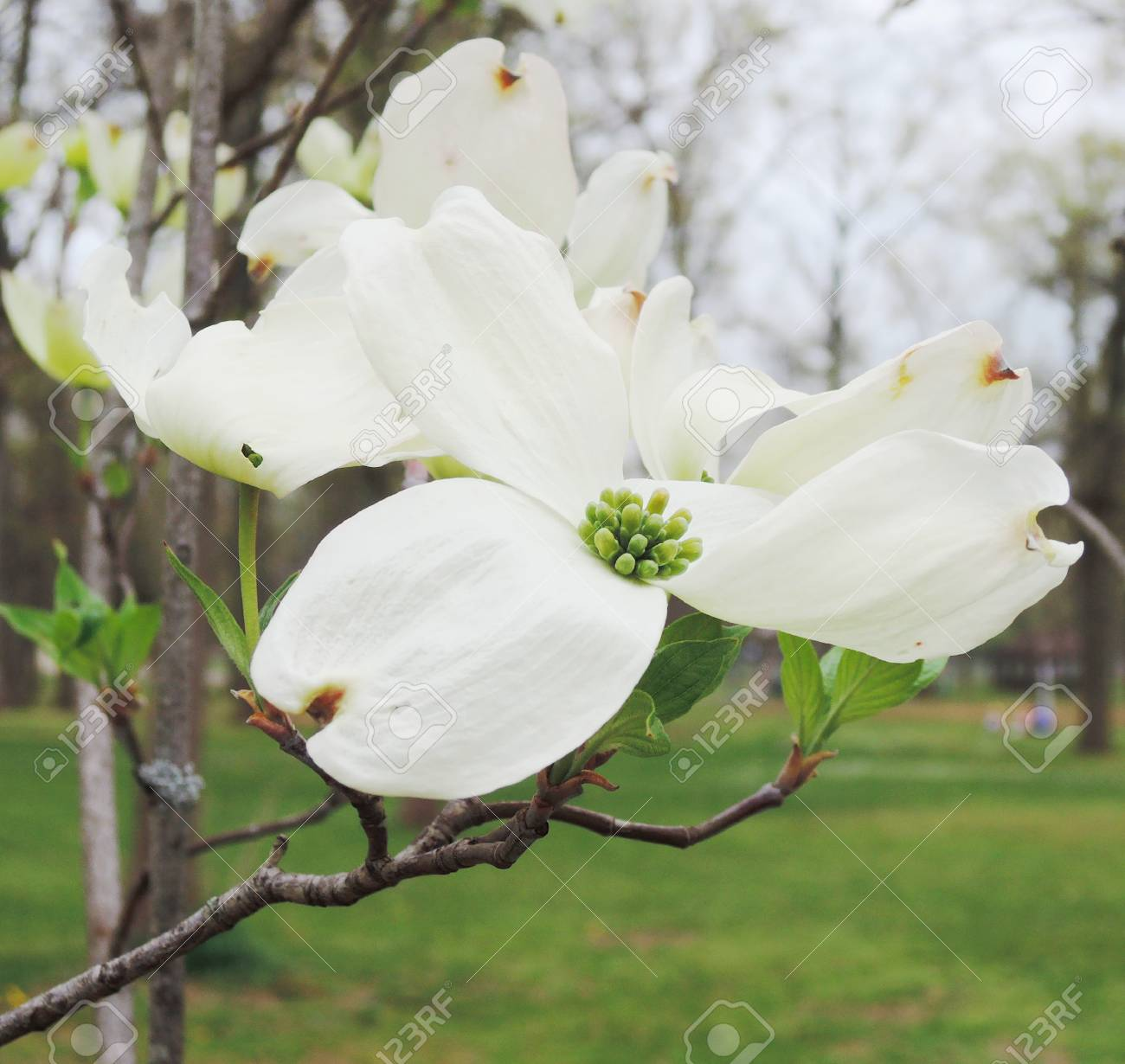White Dogwood Tree Flowers Blooming Stock Photo Picture And Royalty