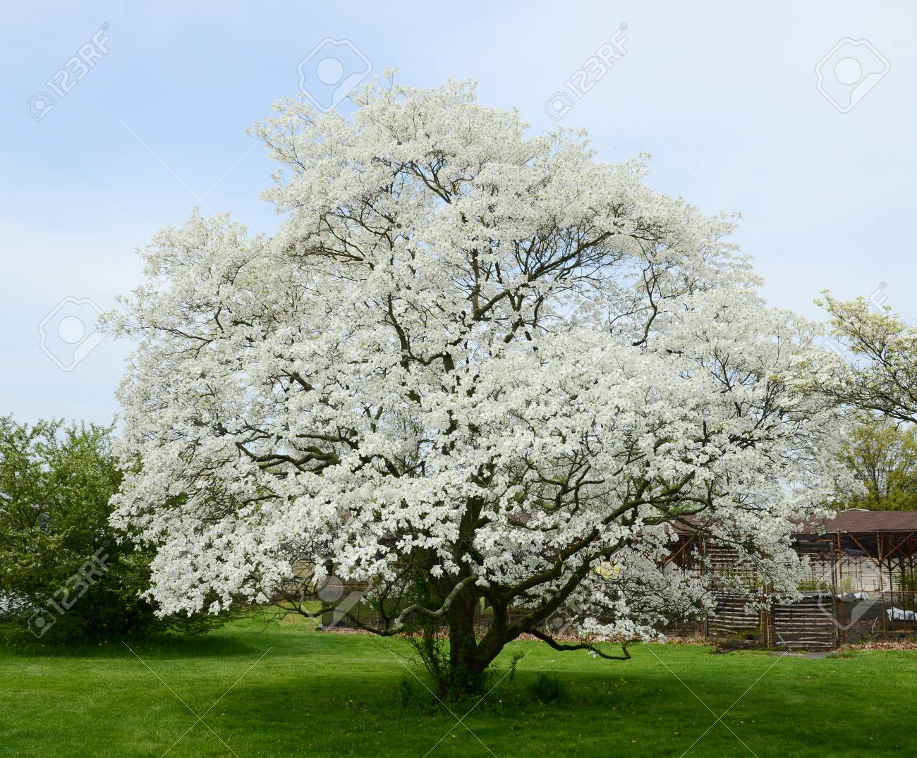 White Dogwood Tree Stock Photo Picture And Royalty Free Image