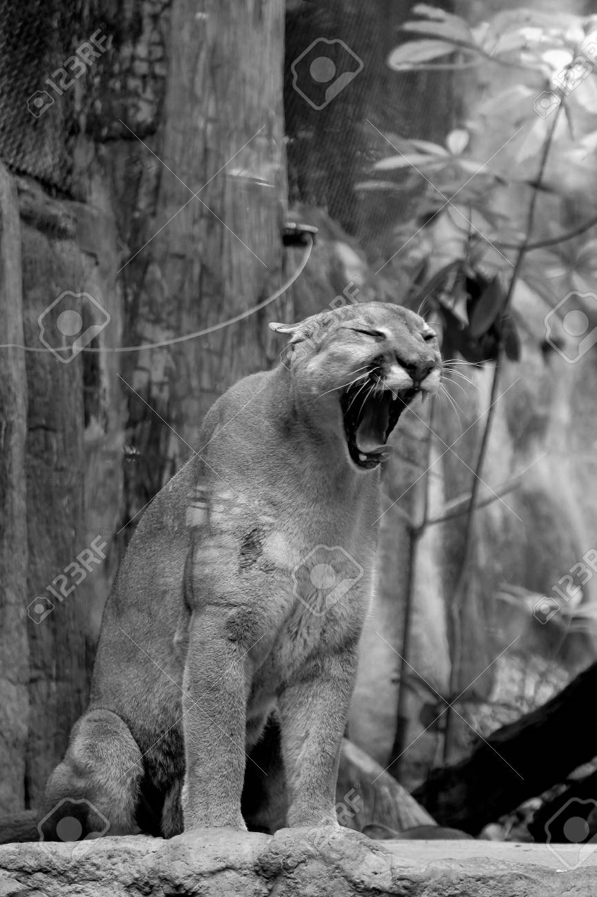 b10d45f73 Black and white Cute kitten mountain lion (Puma concolor) also commonly  known as the