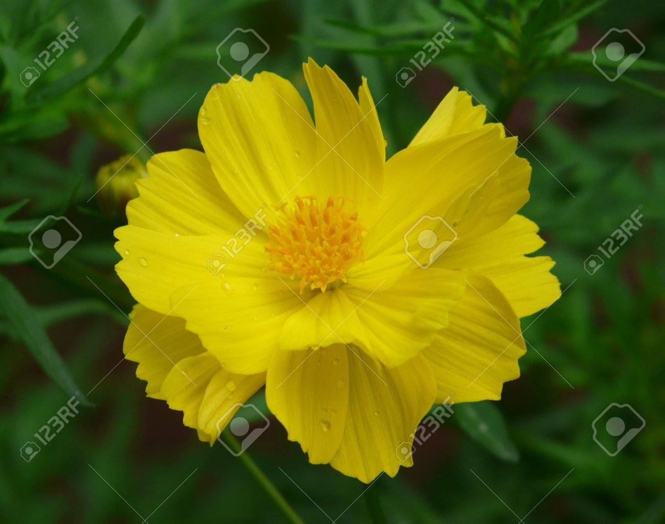 Close Up Of A Common Yellow Flower From A Private Garden In Stock