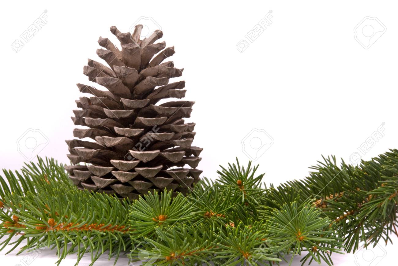 Branch with cone isolated on a white background Stock Photo - 7672573