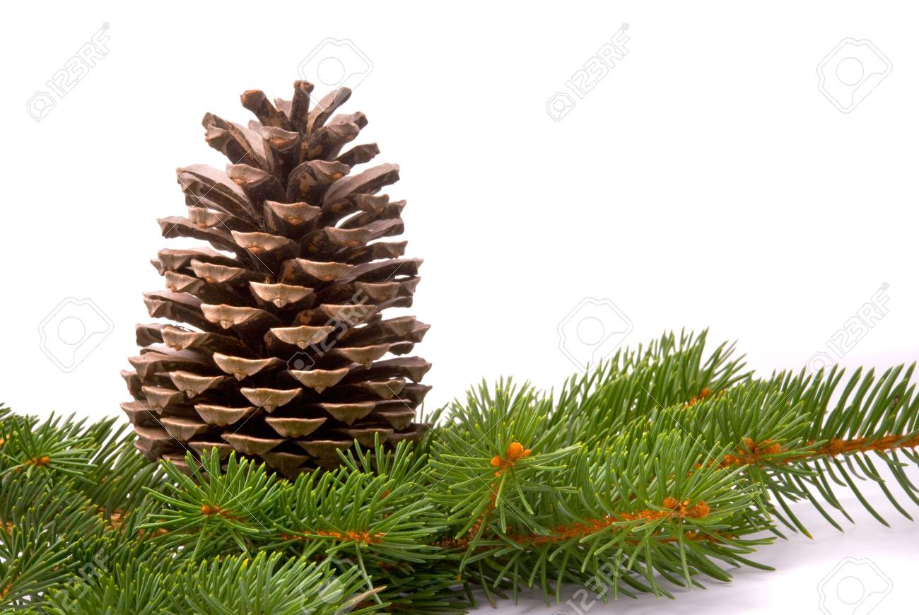 Branch with cone isolated on a white background Stock Photo - 7849446