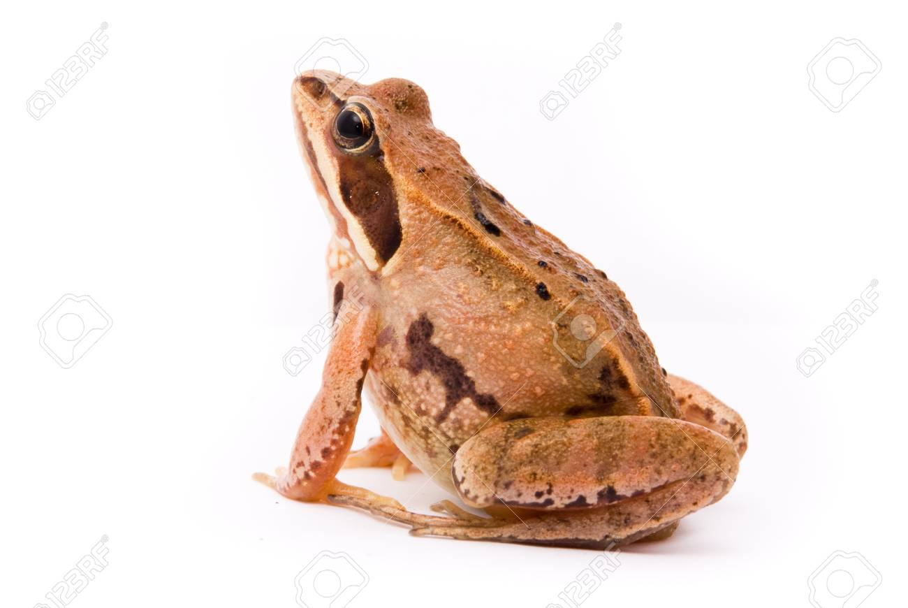 Rana arvalis. Moor frog on white background. Stock Photo - 10553077