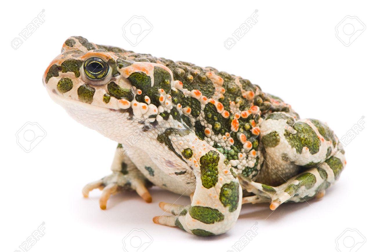 Bufo viridis. Green toad on white background. - 10901968