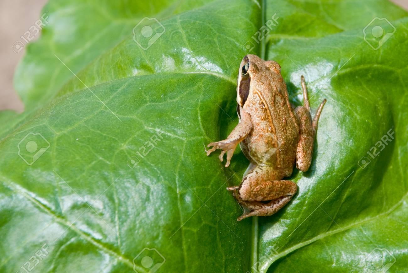 Rana arvalis. Moor frog on nature background. Stock Photo - 10901982
