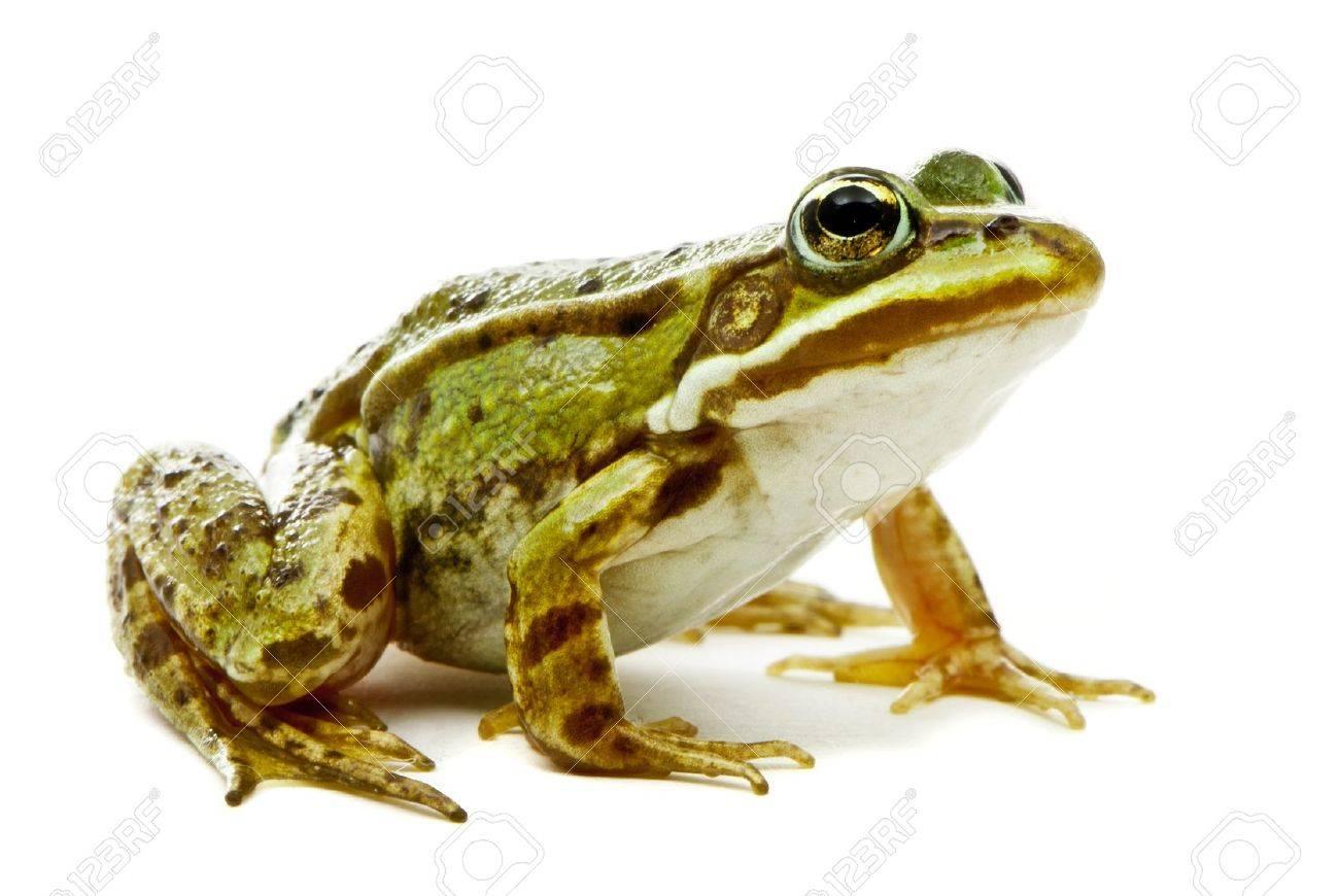 Rana esculenta Green European or water frog on white background - 16555672