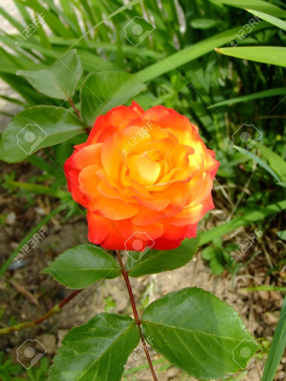 close up of a two tone orange coloured rose growing in a garden