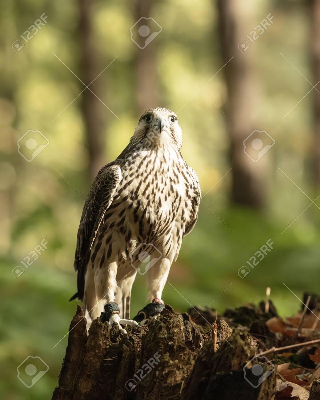 UK, Sherwood Forrest, Nottinghamshire Birds of Prey Event -