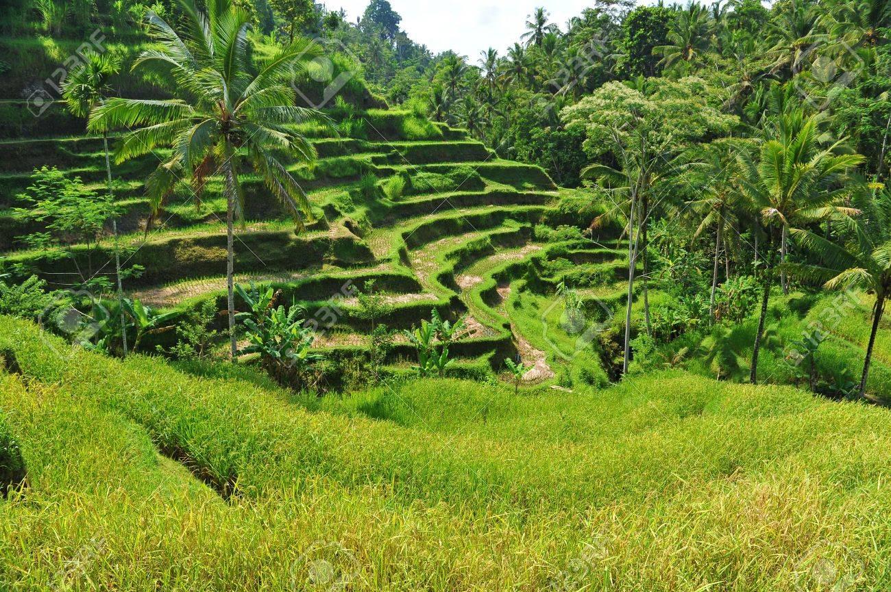 Campos De Arroz De La Terraza Por La Mañana Ubud Bali Indonesia