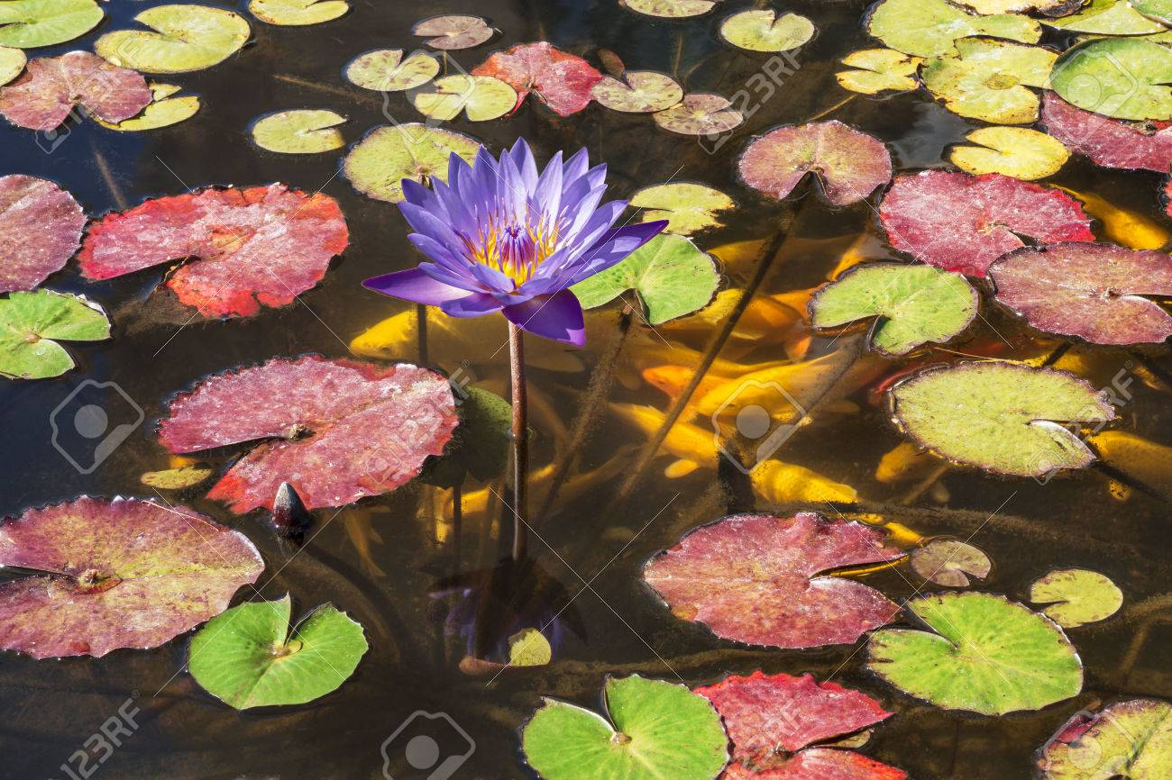 Flower purple lotus in the pond and ornamental goldfish - 69131559