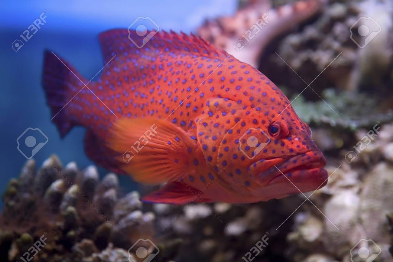 Red Coral Grouper Swims In The Red Sea Stock Photo, Picture And ...