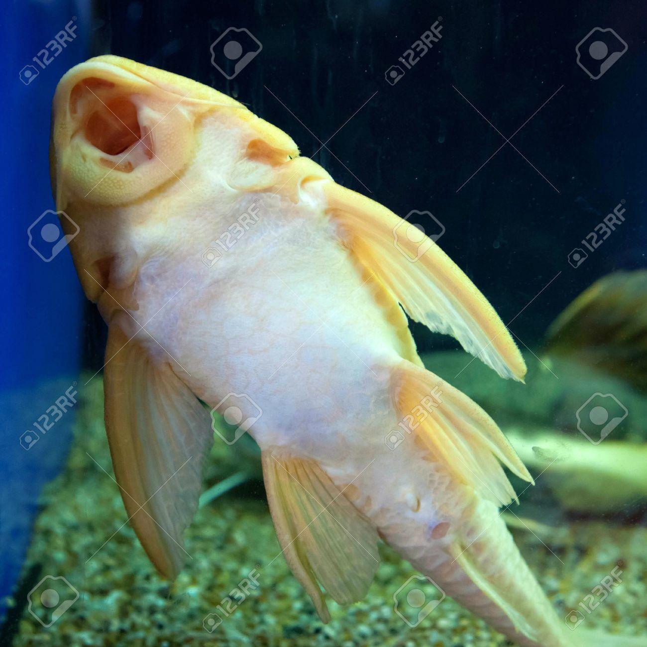 Catfish Ancistrus fish cleaning aquarium Stock Photo - 15687958