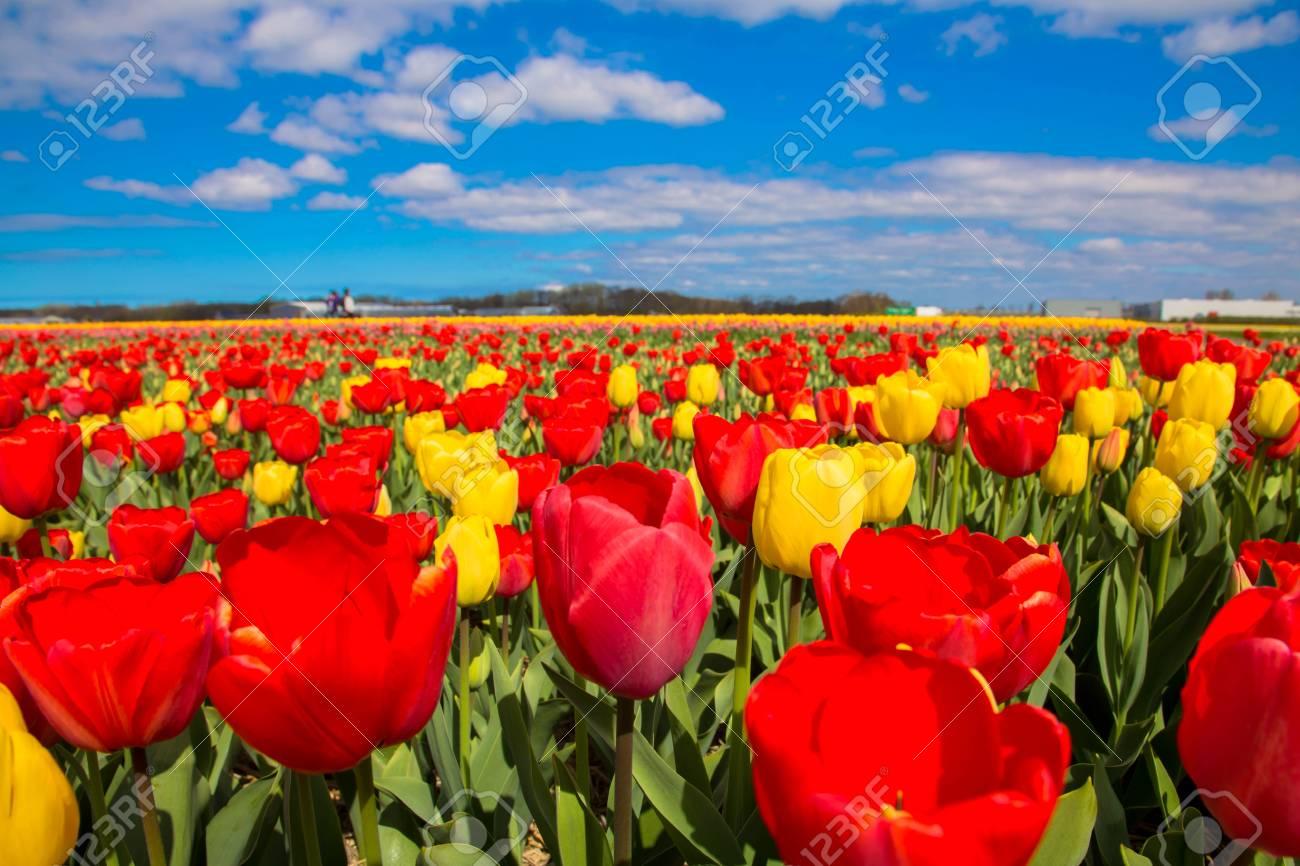 Fleur Magnifique Champ Magnifique Fleurs Colorees Tulipes Le Jour