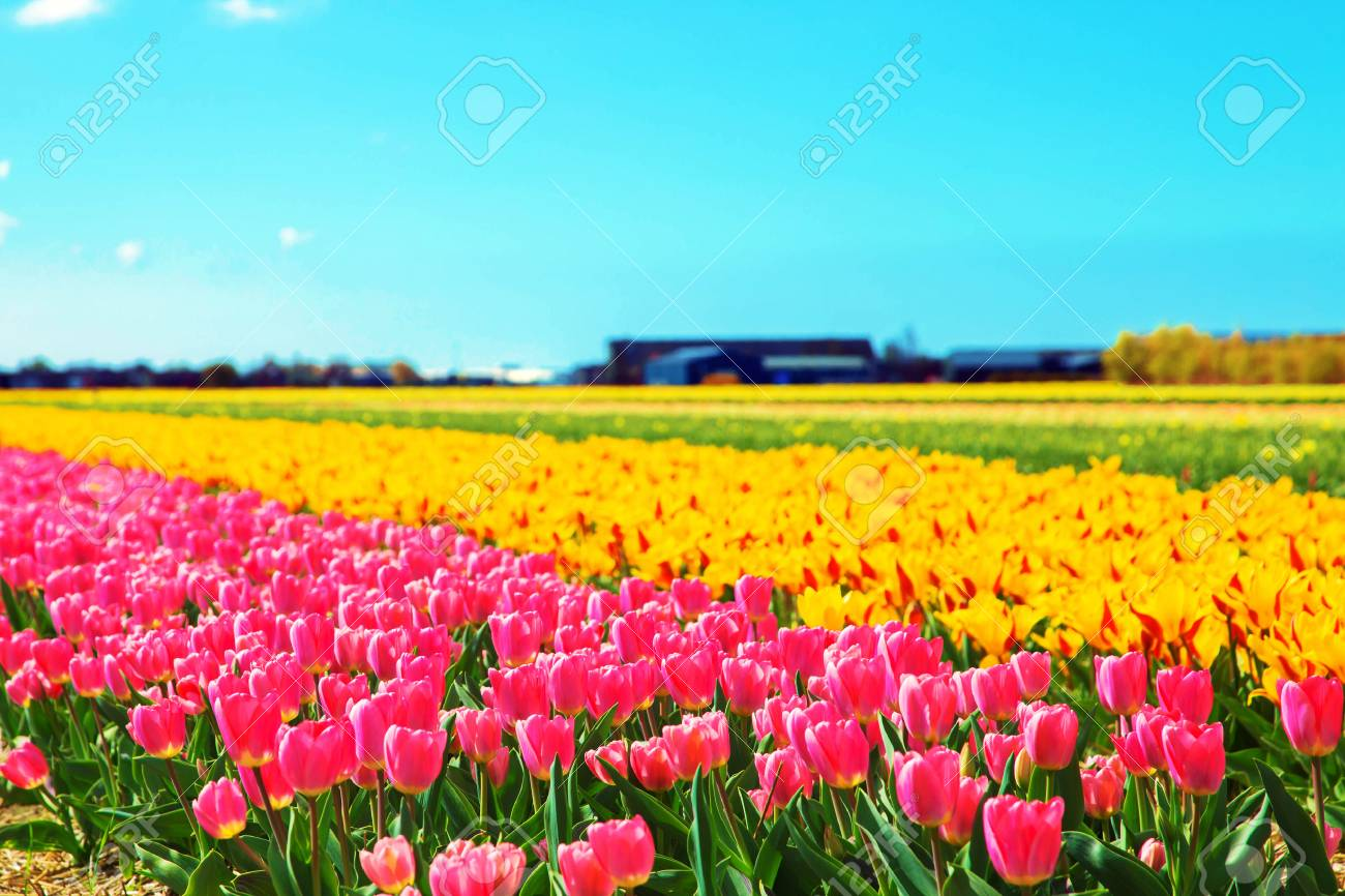 Spring Flowers Spring Tulip Field Spring Floral Background