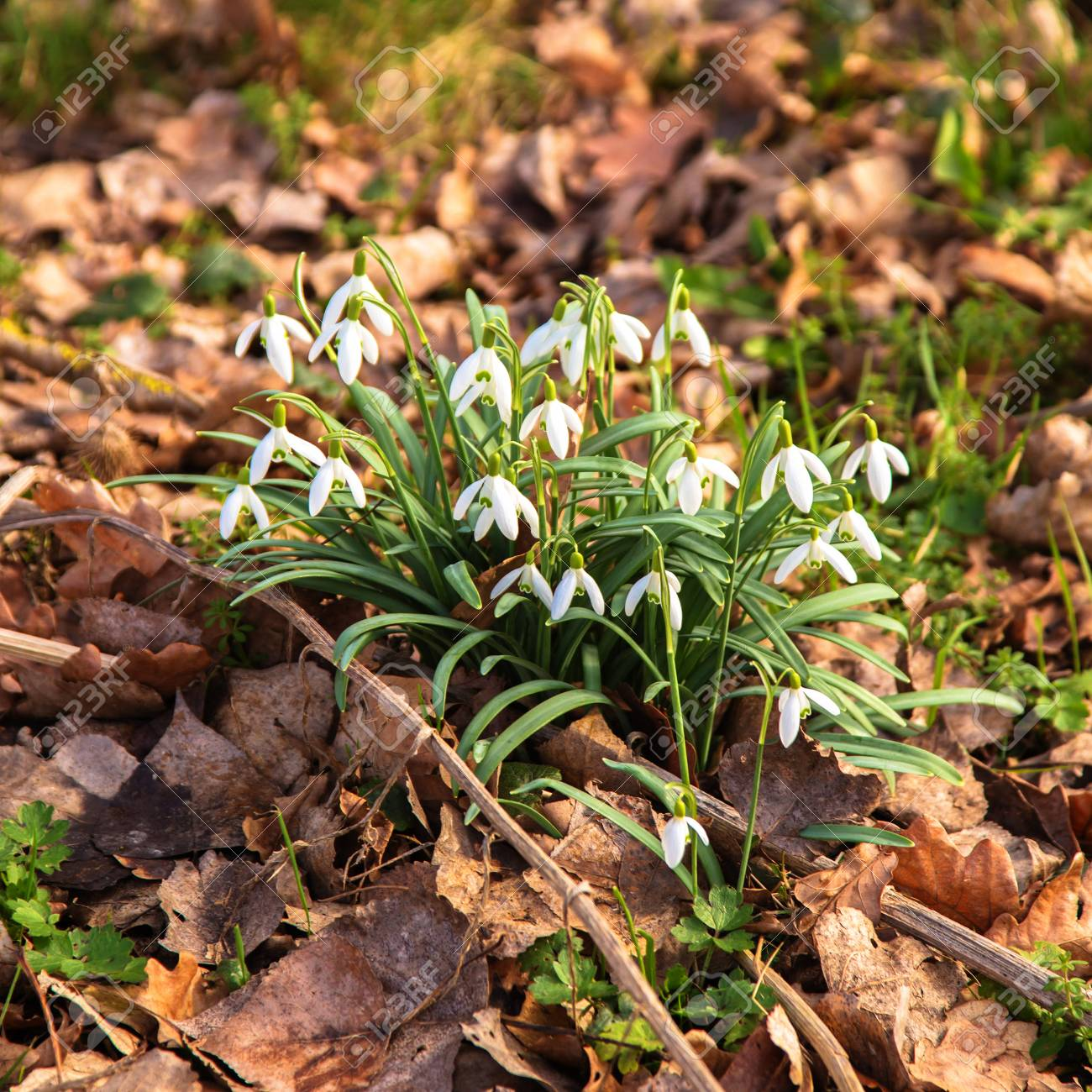 First spring flowers snowdrops delicate spring white forest stock first spring flowers snowdrops delicate spring white forest flowers spring floral background early mightylinksfo