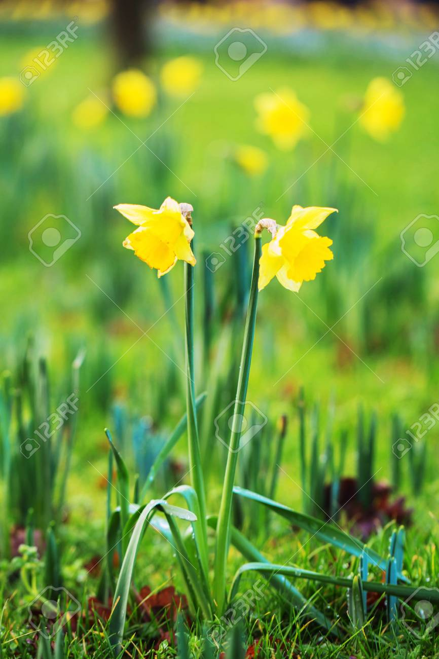 The First Spring Flowers Daffodils Narcissus Pseudonarcissus