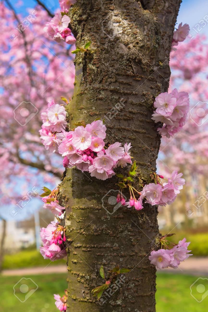 Cherry Blossom Tree Trunk