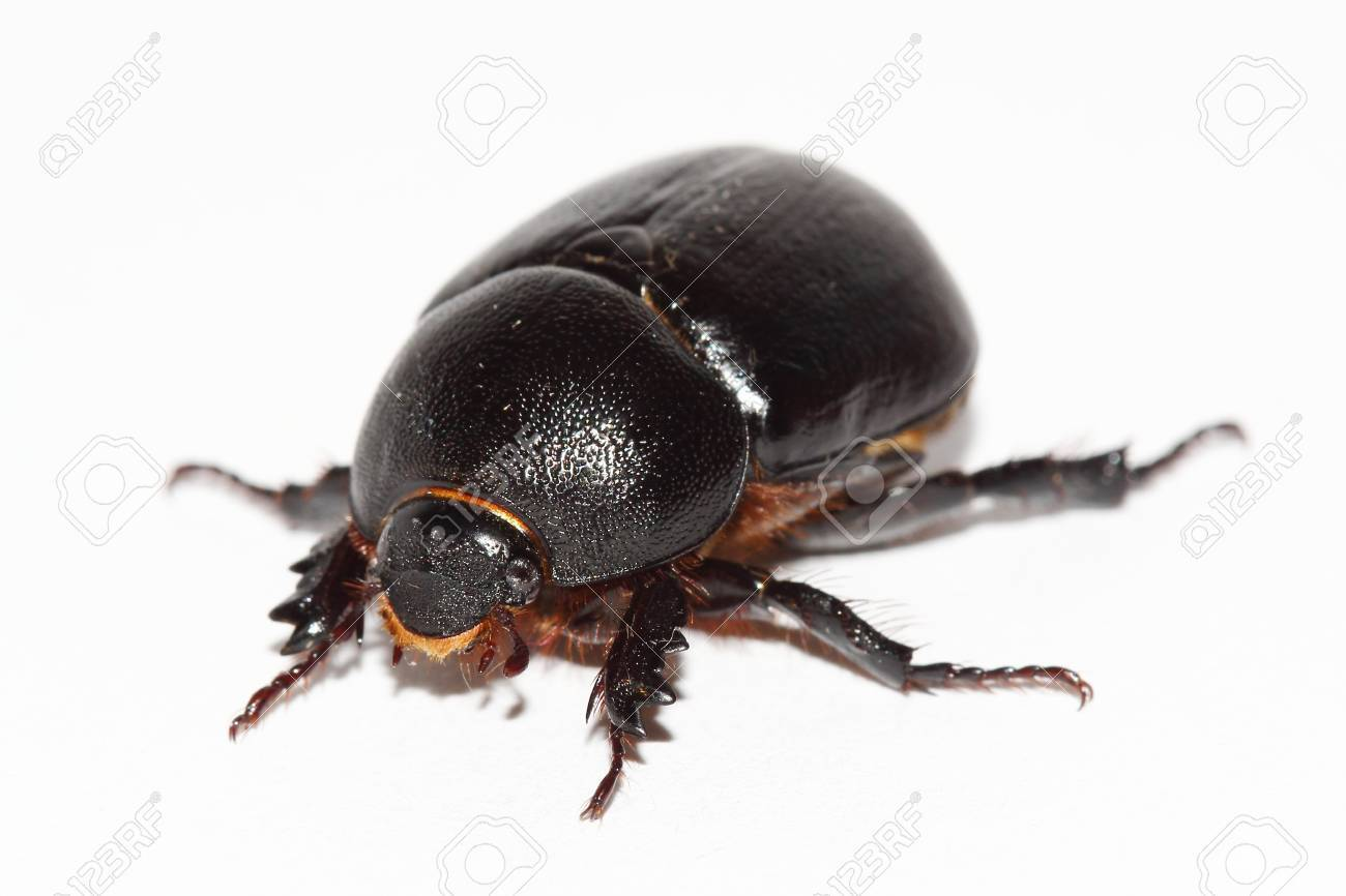 earth-boring dung beetle over white Stock Photo - 17882627