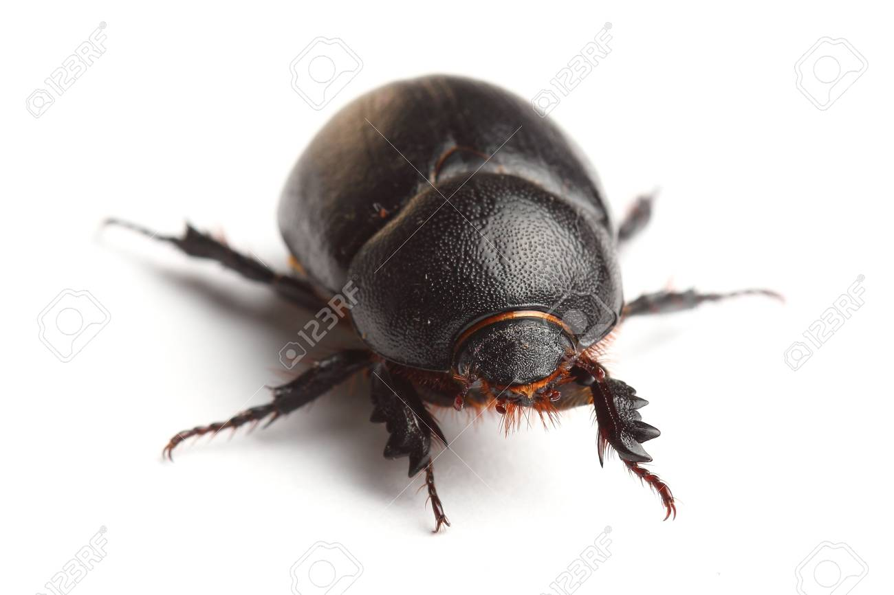 earth-boring dung beetle isolated on white Stock Photo - 19023978