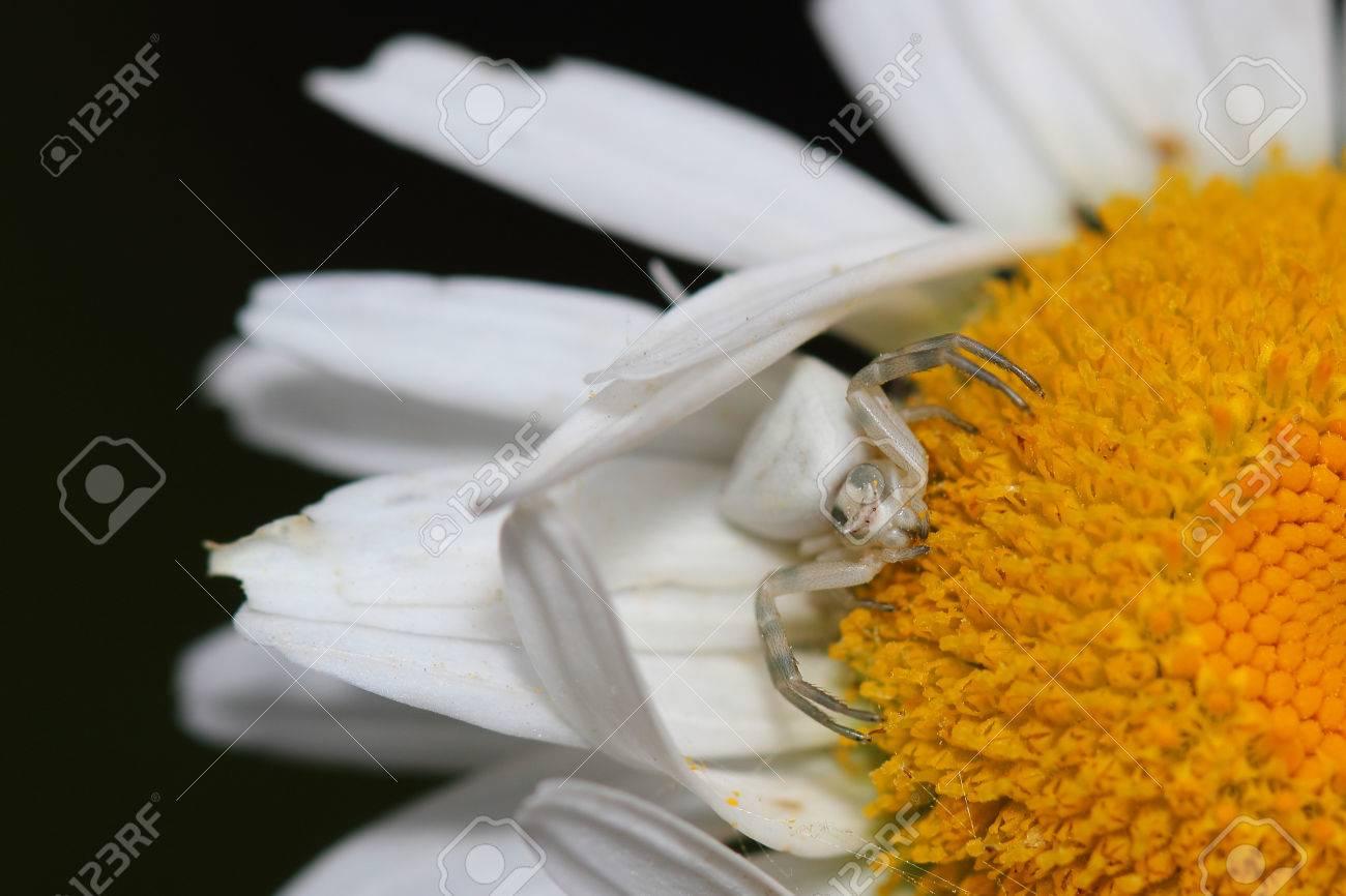 デイジー マクロで花蜘蛛 の写真素材・画像素材 Image 23075573.
