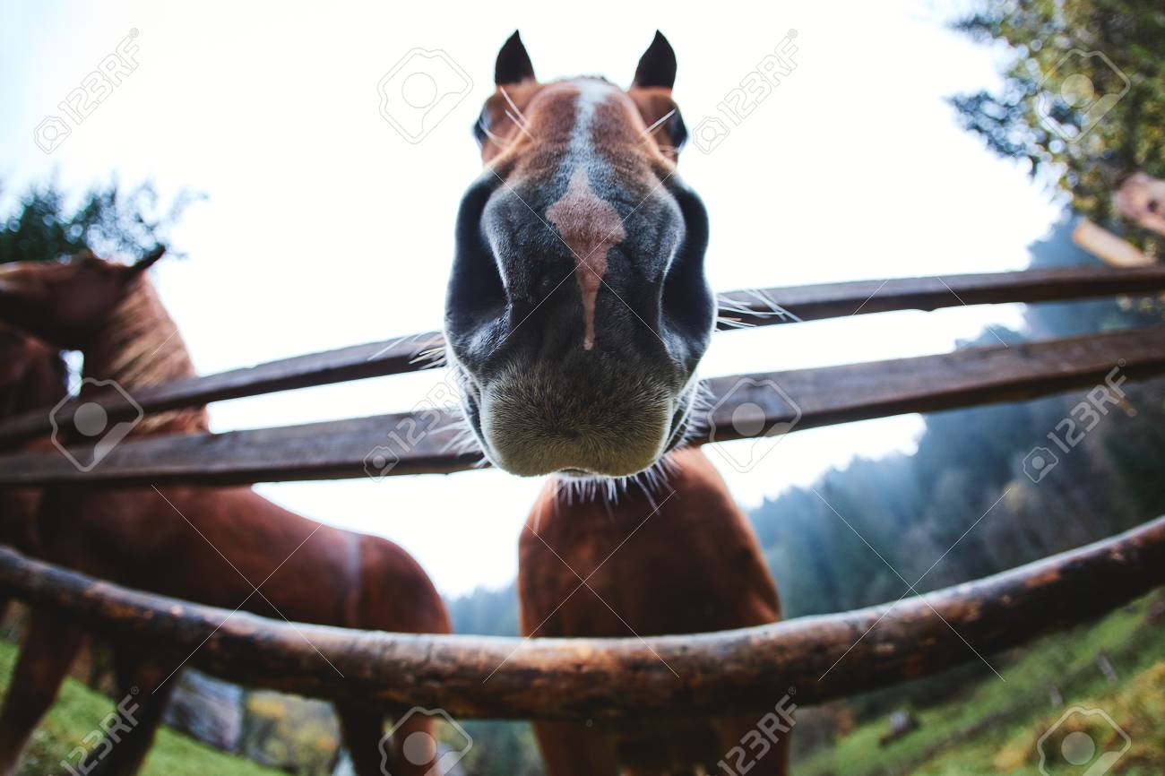 Close Up Horse Head Portrait Cute Funny Brown Horse Peeping Stock Photo Picture And Royalty Free Image Image 117496379